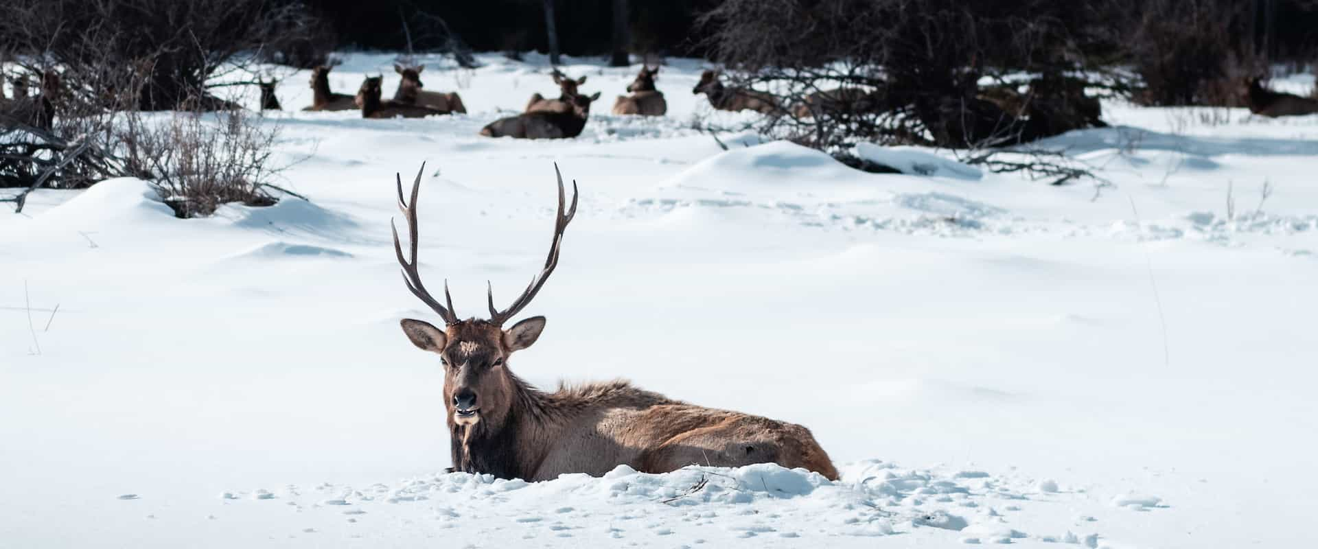 See wildlife such as elk at Warner Stables on a sleigh ride with Banff Trail Riders