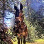 Aardvark Lunch Mule and Pack Mule