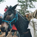 Banff Horseback Rides with Aardvark Packer Mule