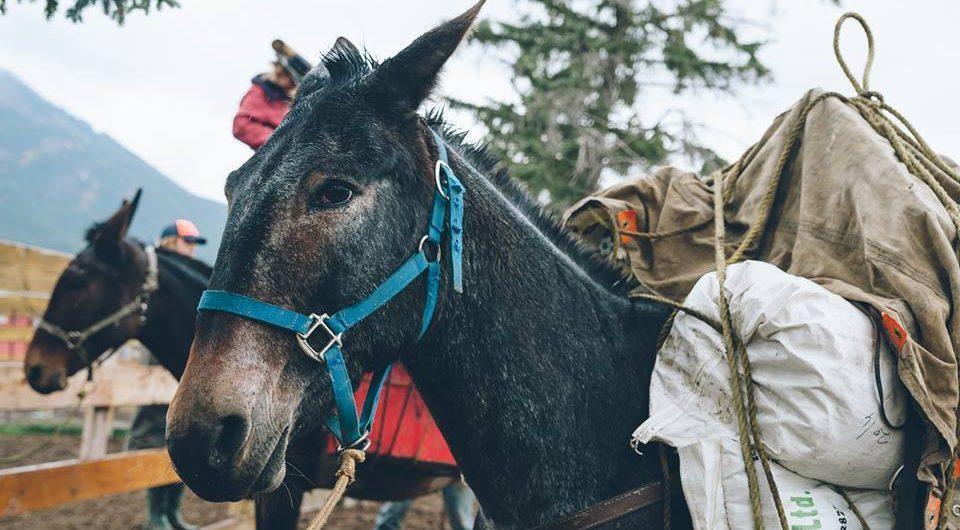 Banff Horseback Rides with Aardvark Packer Mule