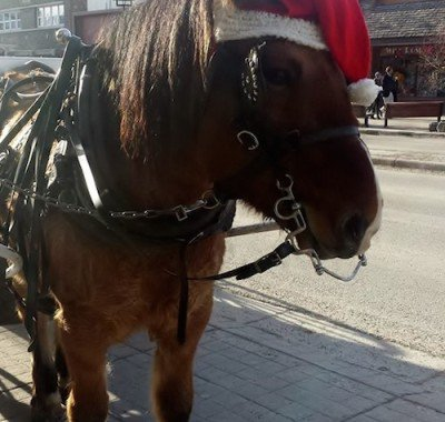 Banff Sleigh Rides with Homer Carriage Horse