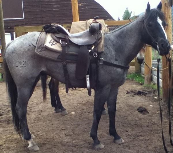 Banff Horseback Rides with Kiwi Guest Horse