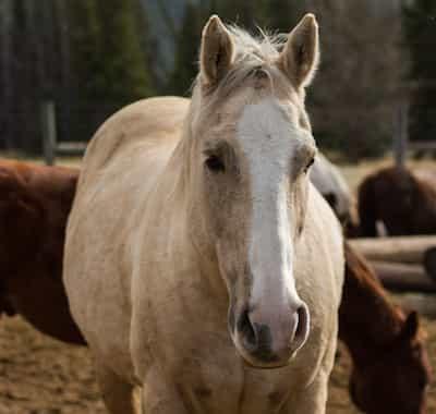 Sulphur Guest Horse
