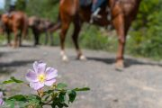 Flowers on the Ride to Flints Camp on the Cascade Valley Backcountry Tent Trip with Banff Trail Riders in the Canadian Rockies