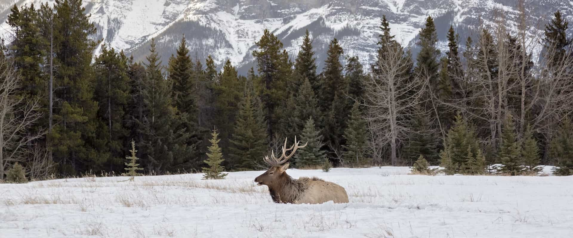 See wildlife such as elk in Banff